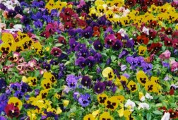 1,000+ Pansy Seeds- Swiss Giant Mix Flower Seeds (Bulk) Hardy Annual