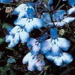 200 BLUE SPLASH LOBELIA Regatta Erinus Flower Seeds