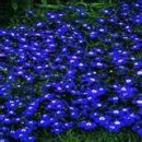 200 Electric Blue & White HALF MOON LOBELIA Erinus Flower Seeds
