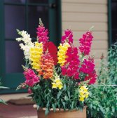 2000 NORTHERN LIGHTS MIX SNAPDRAGON Linaria Maroccana Flower Seeds