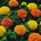 Crackerjack Marigold 500 Seeds - PLUS PACK!