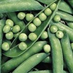Green Arrow Pea 90 Seeds - GARDEN FRESH PACK!