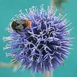 Hinterland Trading Globe Thistle Butterfly and Bee Love Them! Brilliant Silver Blue 25+ Seeds