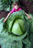 HUGE O-S Cross Giant Cabbage - 50 Seeds - 70lb HEAD