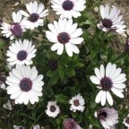 Outsidepride Osteospermum Ecklonis - 250 Seeds