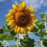 Sunflower Mammoth Grey Stripe DHGSGA (Yellow Tall) 50 Seeds by David's Garden Seeds