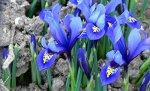 10 Iris Reticulata Harmony Bulbs