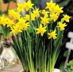 25 Quality Daffodil Bulbs - Tête-à-tête (Small, Yellow) - Freshly Imported from Holland