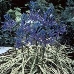 'Blue Melody' Camassia quamash 4 Bulbs - Very Hardy - 6 + cm Bulbs