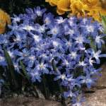 Chionodoxa luciliae blue Glory of the snow - 60 flower bulbs