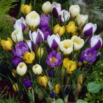 Crocus Botanical Mix - 20 flower bulbs
