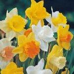 DAFFODIL, BULB (20 PACK), TRUMPET MIX, PERENNIAL DAFFODILS, BULBS, STUNNING BRIGHT FLOWERS