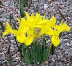 Danford Rockgarden Iris 15 Bulbs 5+ cm - Very Hardy!