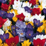 Early Spring Collection 25 Bulbs - 5 Tulips & 20 Crocus - 7-11 cm Bulbs