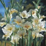 Gladiolus nanus Halley - 10 flower bulbs