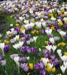Large Crocus Mix - 20 Bulbs - Best Seller