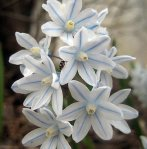 Lebanon Stripped Squill - 25 Bulbs - Puschkinia - 6+ cm Bulbs