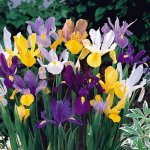 Mixed Dutch Iris 40 Bulbs - SUPER VALUE - Hardy - 8-9 cm Bulbs