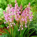 Pink Wood Hyacinth Mix 15 Bulbs-Scilla-Spanish Bluebell - 8-10 cm Bulbs