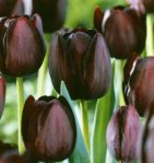Queen of Night Single Late Tulip 10 Bulbs - 12+ cm Bulbs