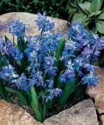 Siberian Squill - 50 Bulbs - Scilla siberica - 7-8 cm Bulbs