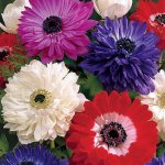 'St. Brigid' Anemone Windflowers 25 Bulbs - 7-8 cm Bulbs