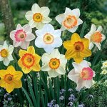Sunshine Narcissus Mix 50 Bulbs-Deer & Rodent Resistant - 14-16 cm Bulbs