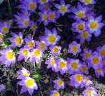 'Tri-Color' Snow Crocus 25 Bulbs - Very Hardy! - 5+ cm Bulbs