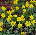 Winter Buttercups - 15 Bulbs - Eranthis - Hardy - 4+ cm Bulbs